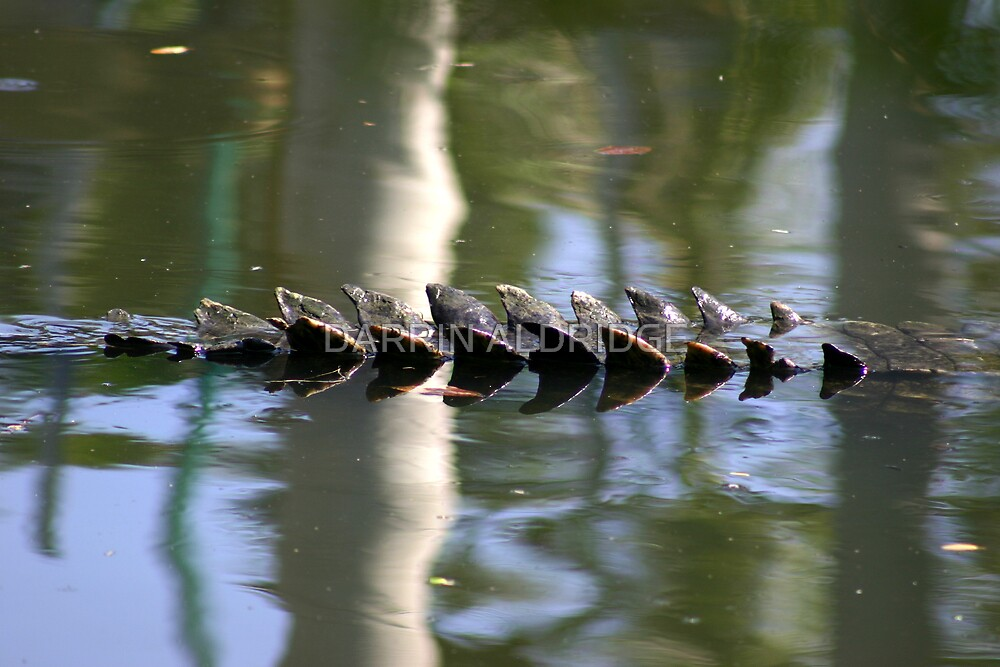 Croc's Tail by DARRIN ALDRIDGE