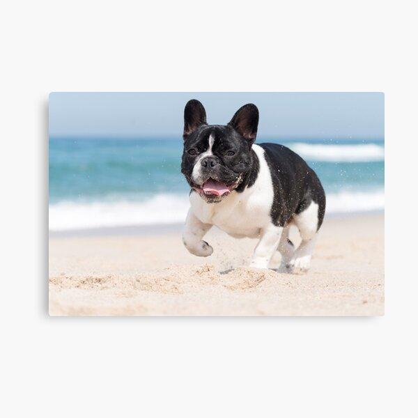 French bulldog on the beach Canvas Print