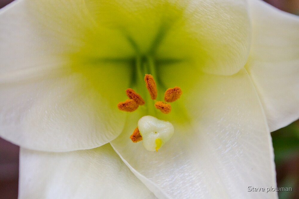 pollen stained lilly by Steve plowman