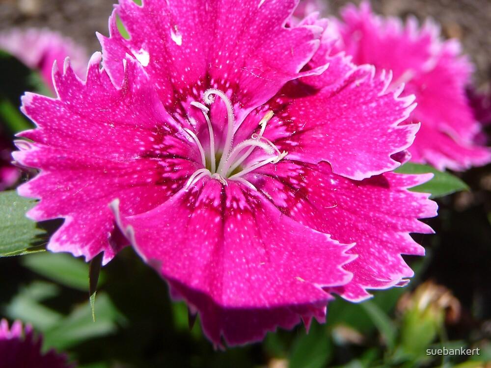 Dianthus by suebankert