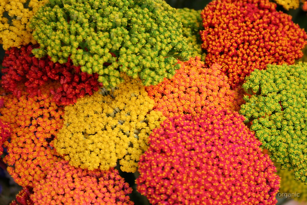 Multicolored Flowers of Florence/Florence Italy by organic