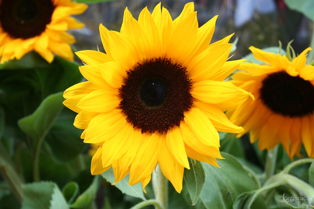 Sunflowers of Italy  by organic