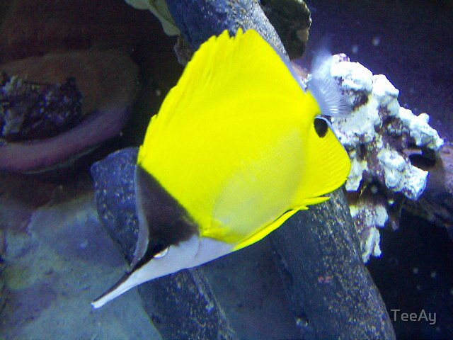 yellow fish by TeeAy