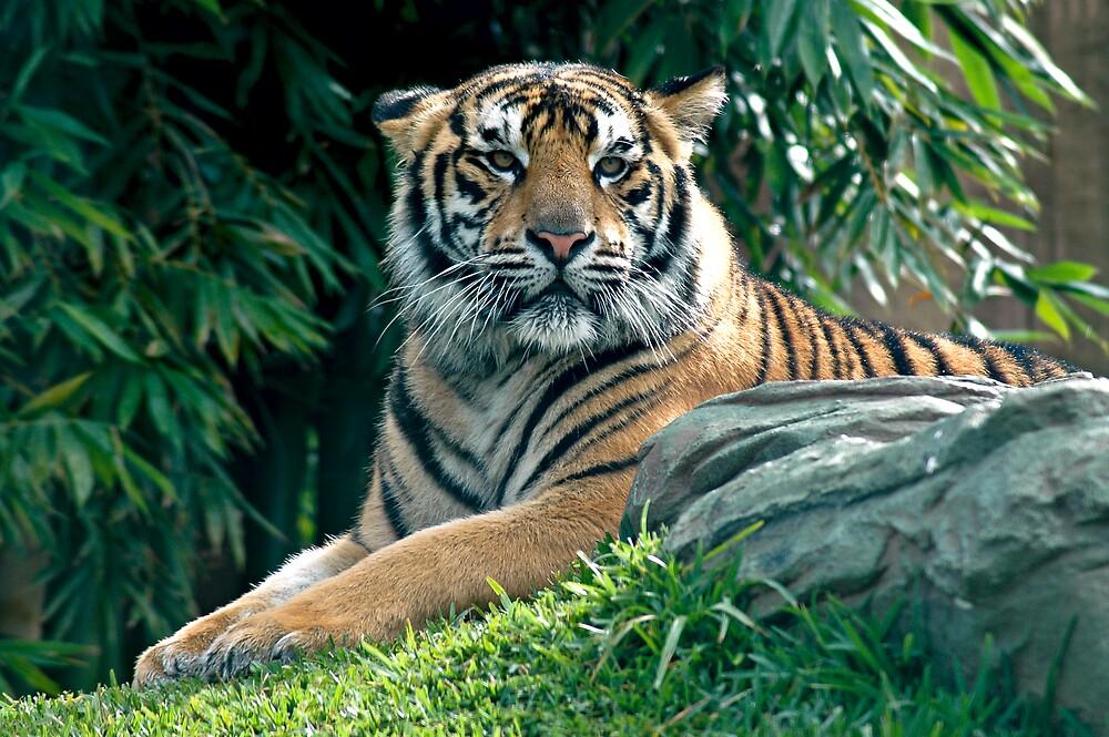 Siberian Tiger by Judy Harland