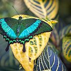 Emerald Peacock by PhotosByHealy
