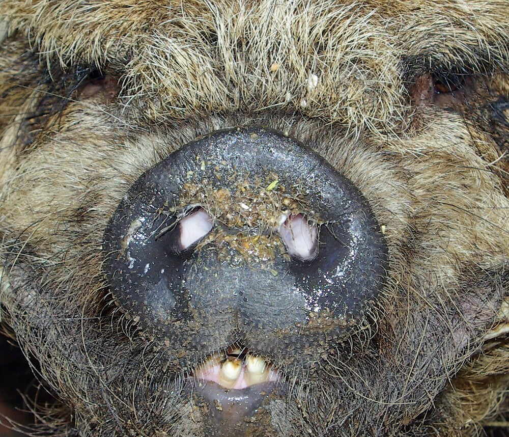 Boar by Geoff46