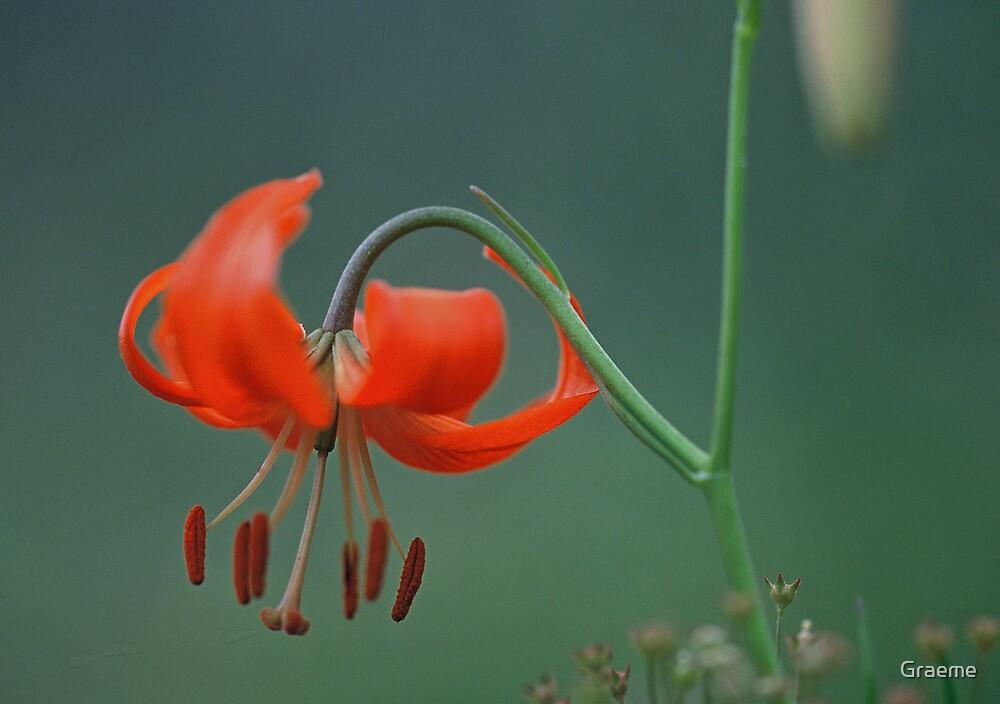 Lone Fire Lily by Graeme
