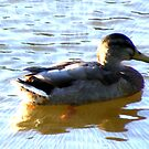 Duck by CarolineMannix