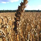 Wheat! by CarolineMannix