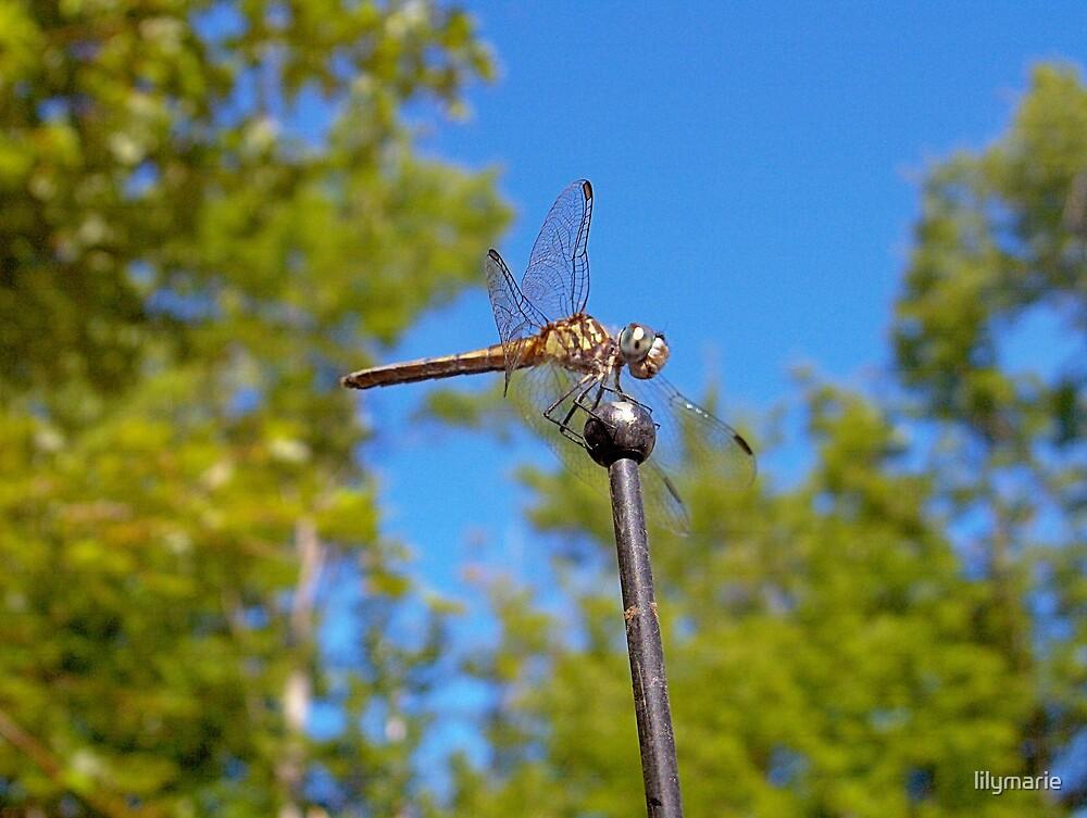 Dragon flies by lilymarie