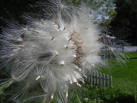 Thistle Seed by Martha Medford
