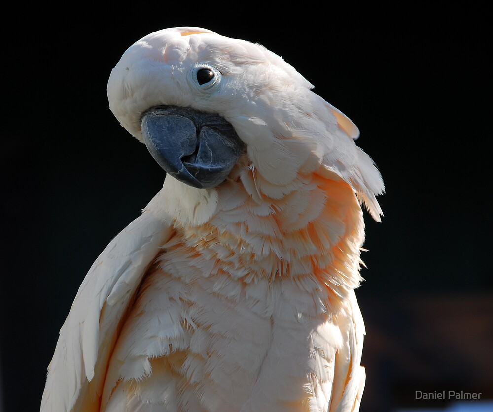 Cockatoo Closeup by Daniel Palmer