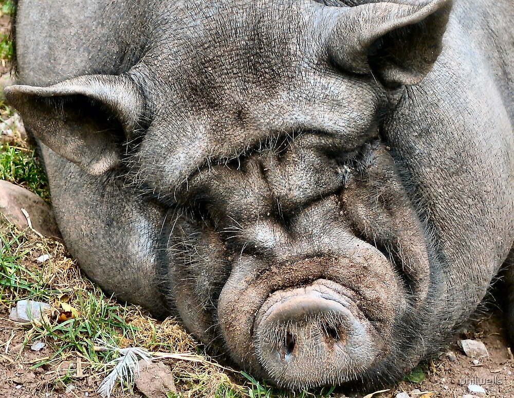 pig by philwells