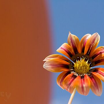 silver sunflower by thorley