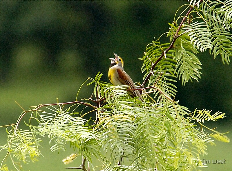 Dickcissel in spring by jim west