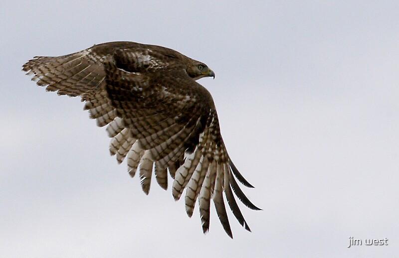 broadwinged hawk by jim west