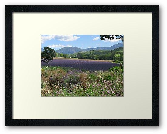 Lavendar fields by Richard3