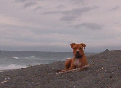 Pitbull Pup Loves the Ocean by Barb Stuckey