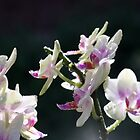 Rain drops on orchid by agnessa38