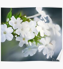 Painting of White Phlox  Poster
