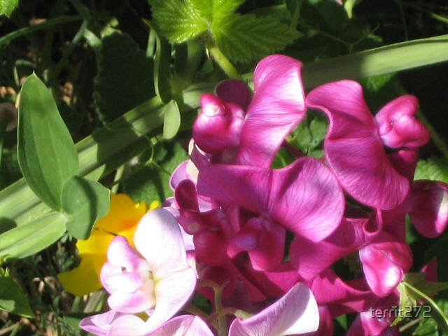 flowers on the northern California coast by territ272