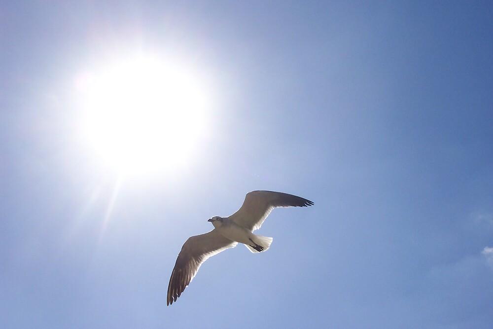 Gull in Flight by Cardet