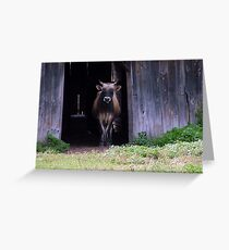 """Cow in Barn"" Greeting Card"