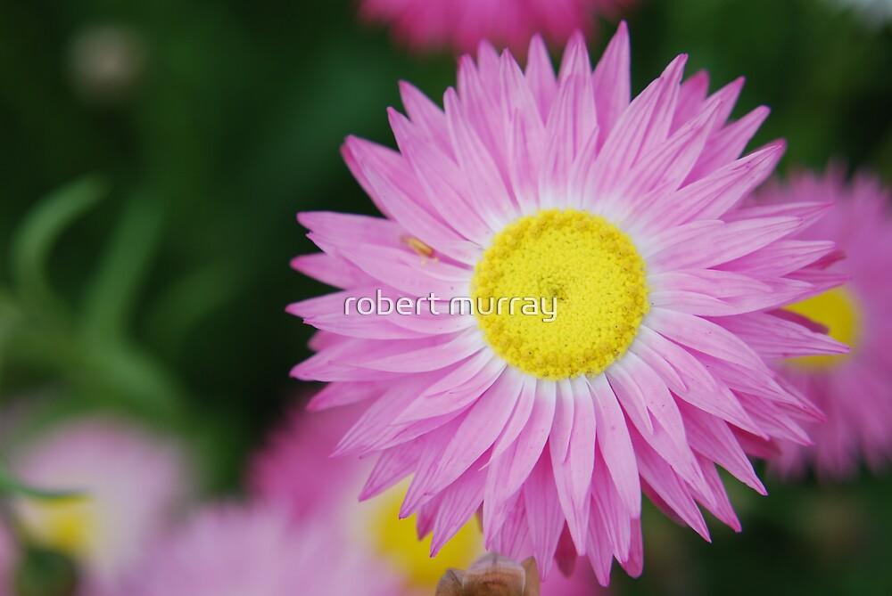 paper daisy by robert murray