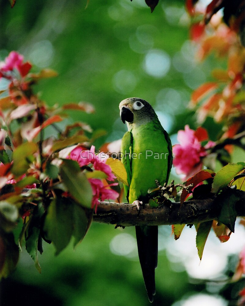 Parrot in Tree by Christopher Parr