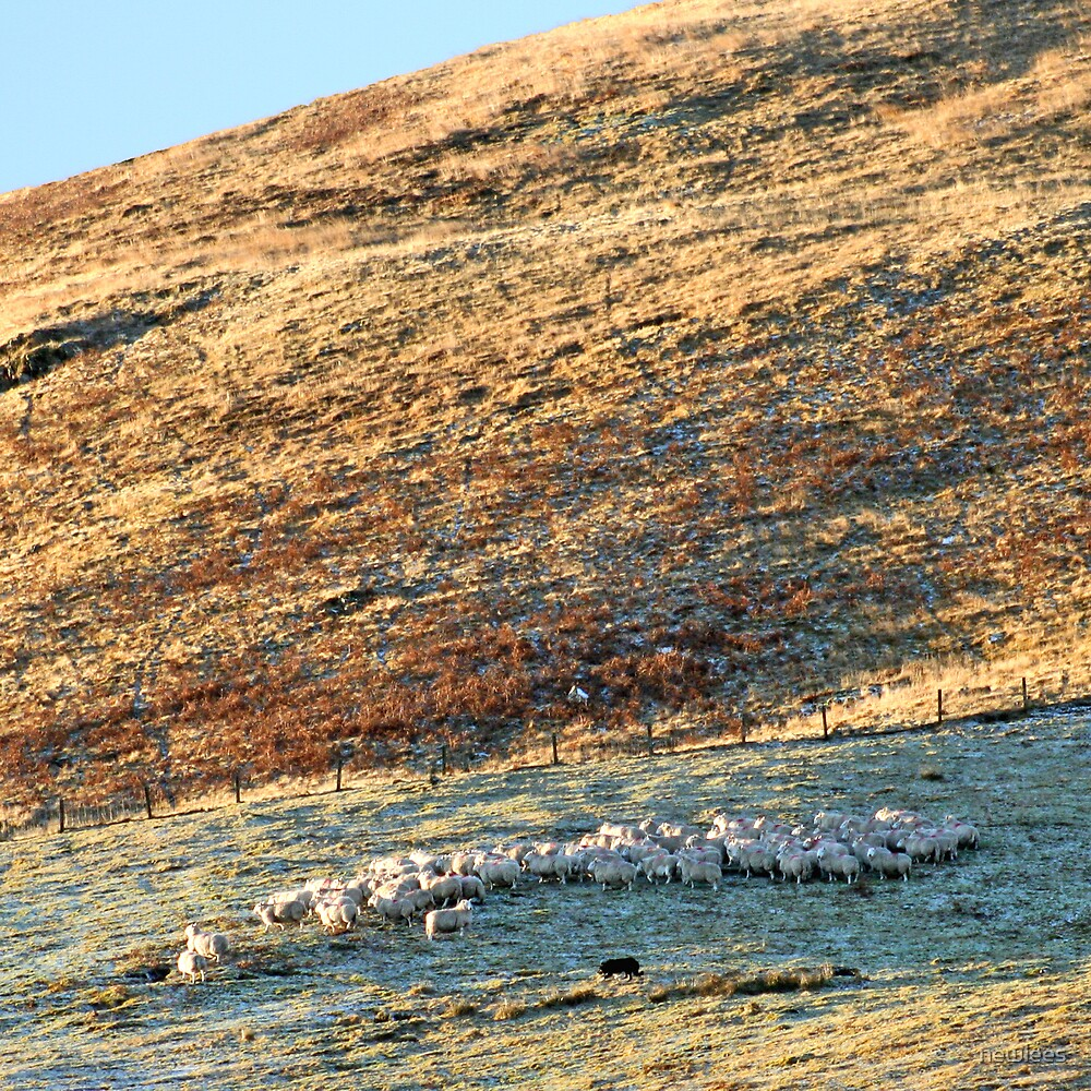 Sheep being herded on a hill in winter by newlees