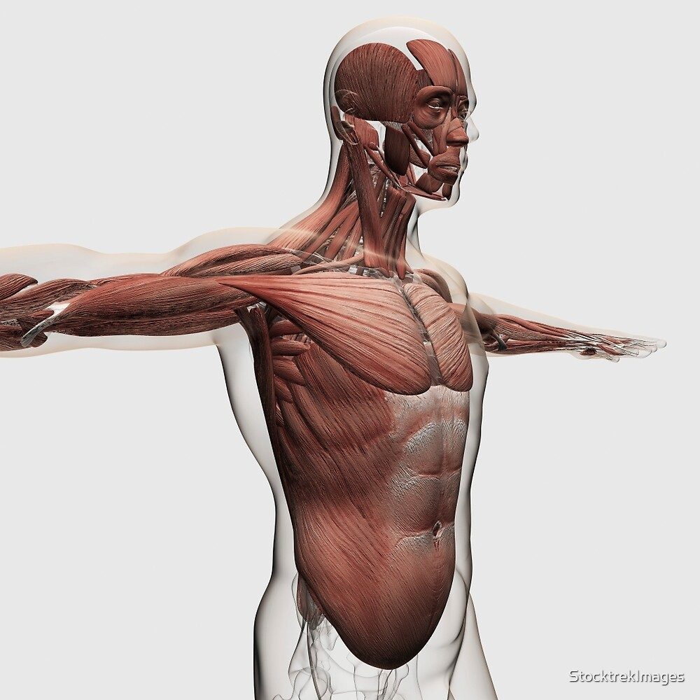 Anatomy Of Male Muscles In Upper Body Side View By