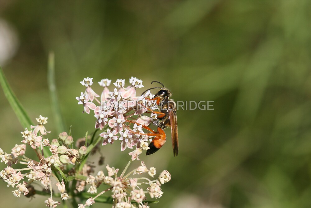 Soft Side of Predator Wasp by DARRIN ALDRIDGE
