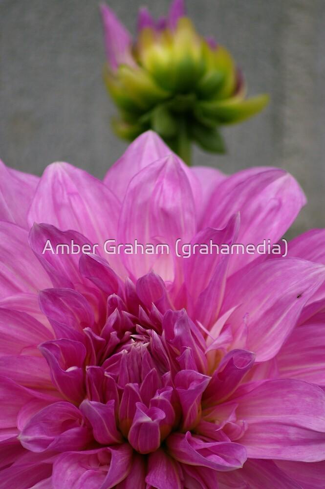 The Dahlias by Amber Graham (grahamedia)