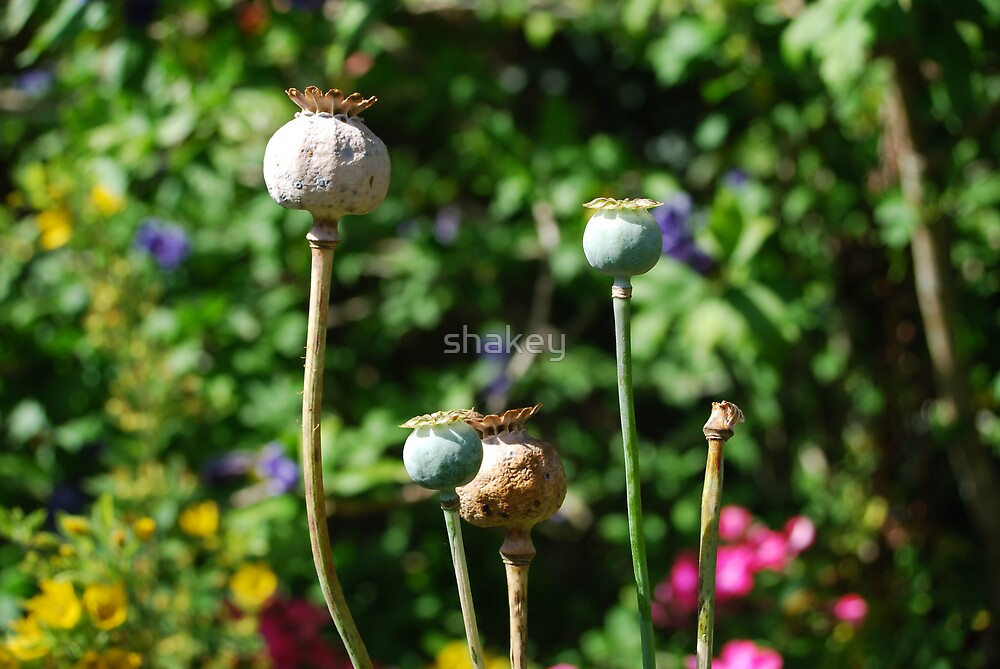 Poppy heads by shakey
