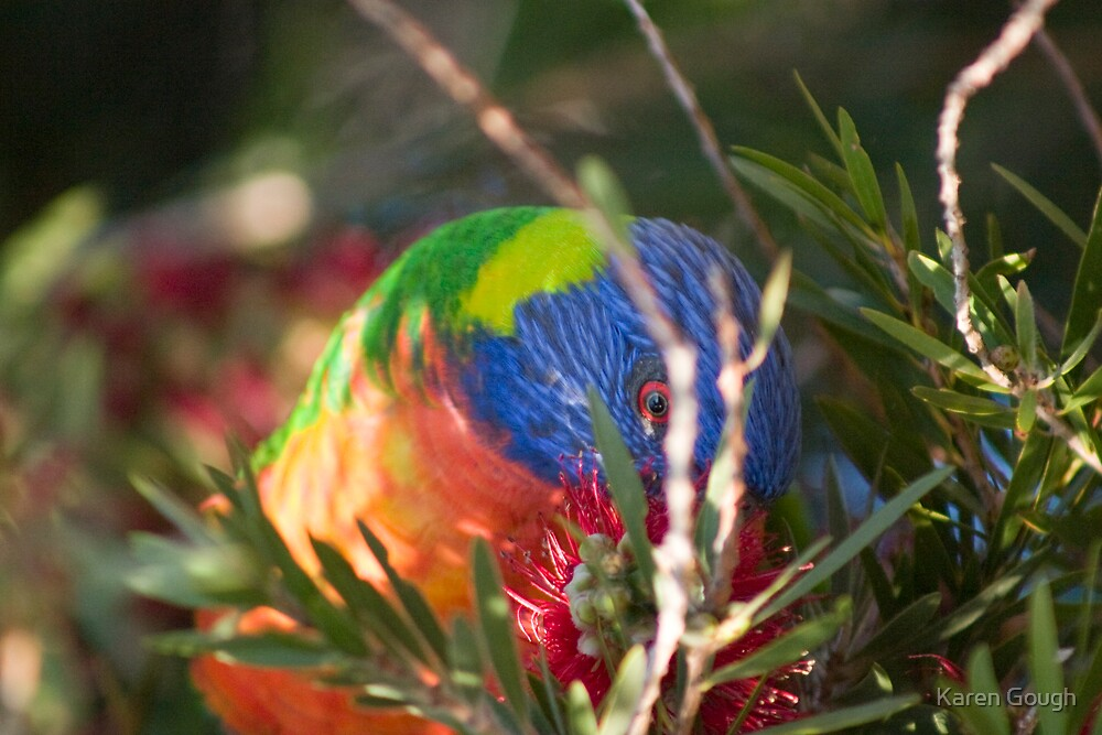 Rainbow Lorikeet by Karen Gough