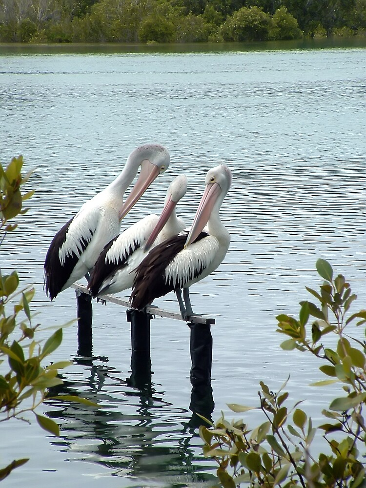 Pelicans Trio by Keith Spencer
