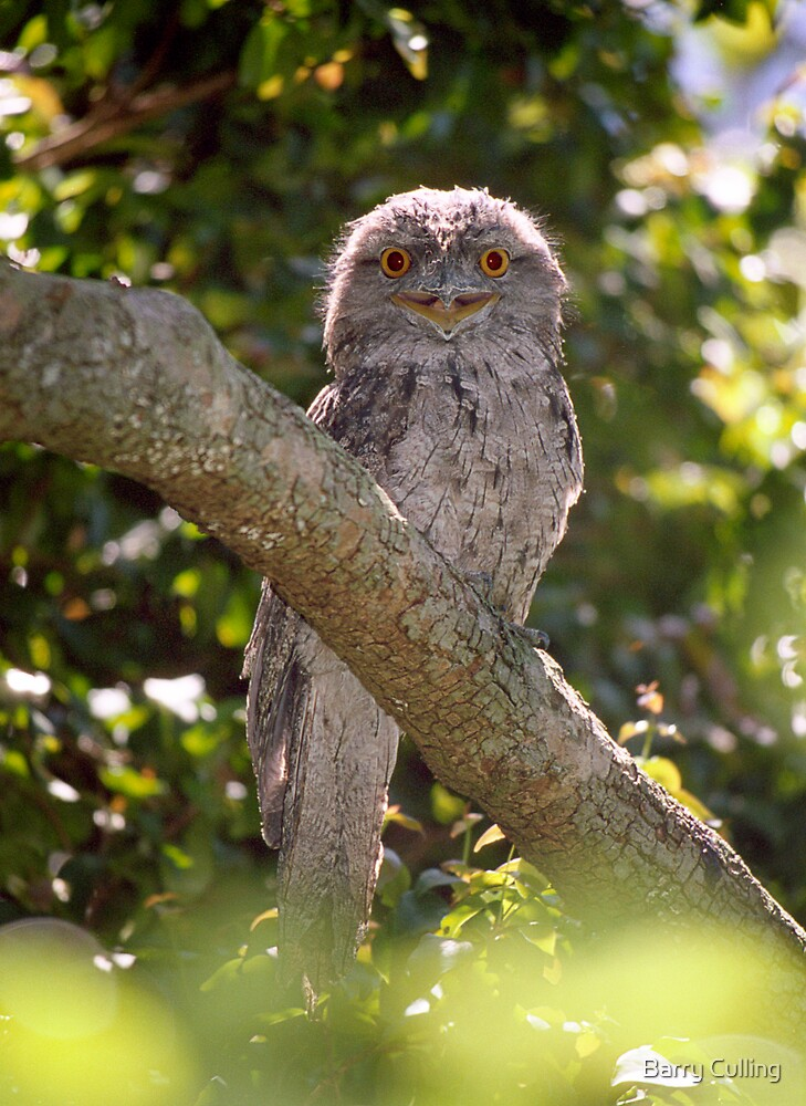 Tawny  Frogmouth by Barry Culling