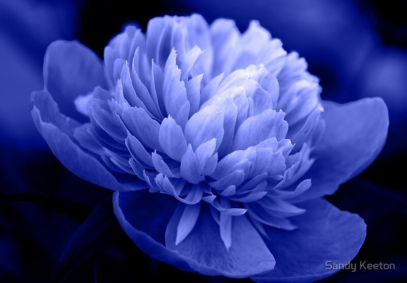 Quot Blue Peony Quot By Sandy Keeton Redbubble