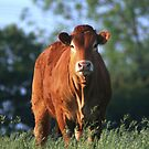 cow in filed at sunrise. by redskybaby