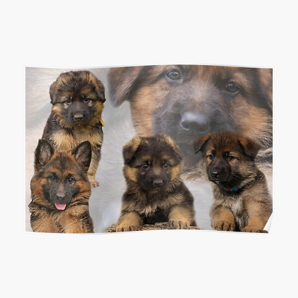 German Shepherd Puppy Collage Poster