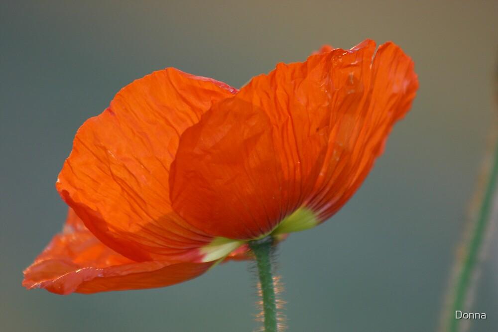 Poppy by Donna
