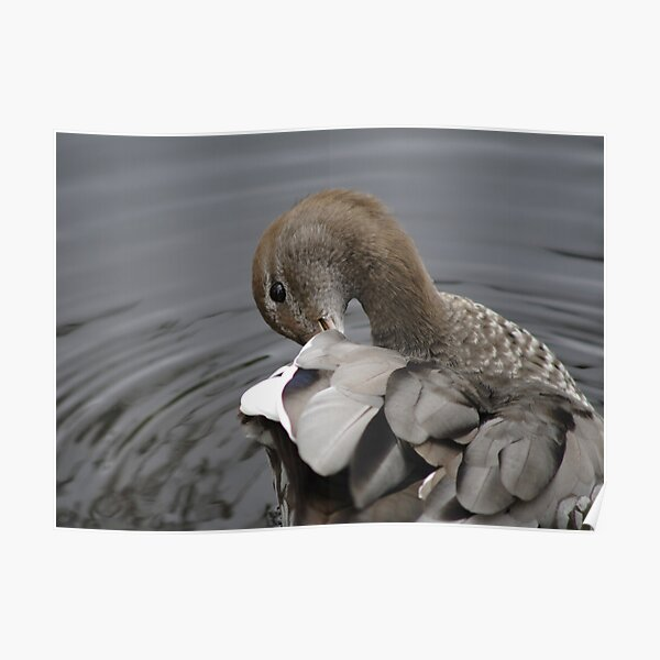 Preening Duck Poster