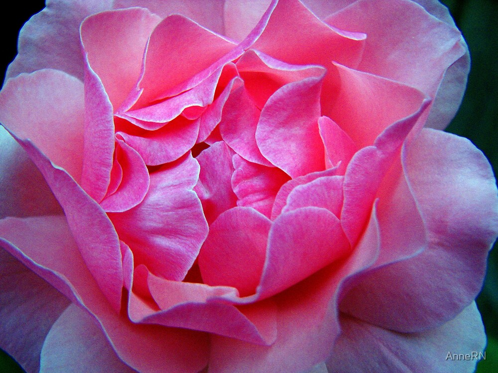 Rose Close up by AnneRN