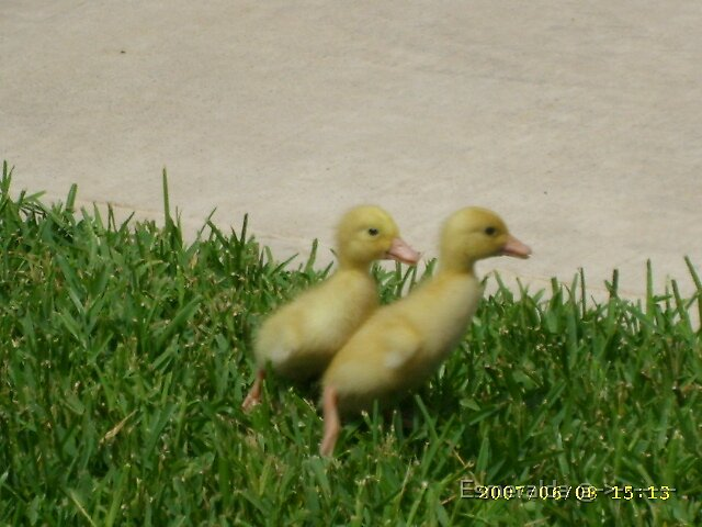ducklings by Esmeralda @->-------