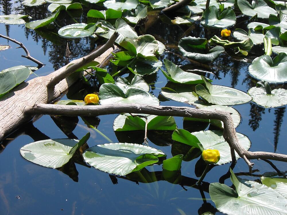 water lilies by Brynne Kaufmann