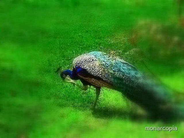 Caughtapeacock by monarcopia