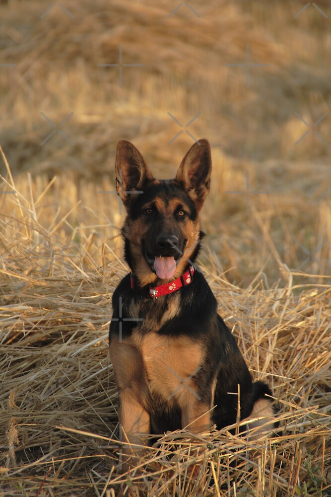 German Shepard  by Angela E.L. Clements