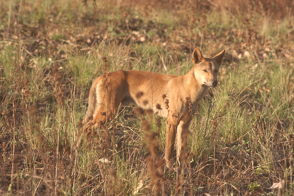 hello dingo by kristy-may  Tisdell