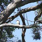Laughing Kookaburra by atacj05