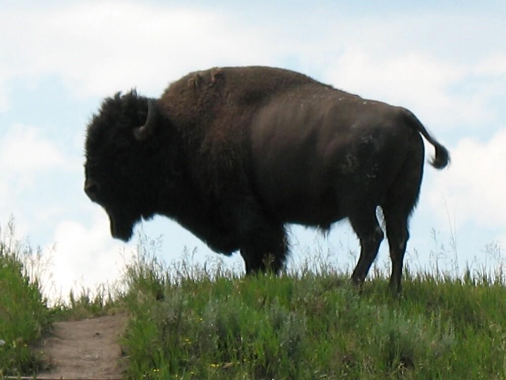 Hilltop buffalo by Brynne Kaufmann